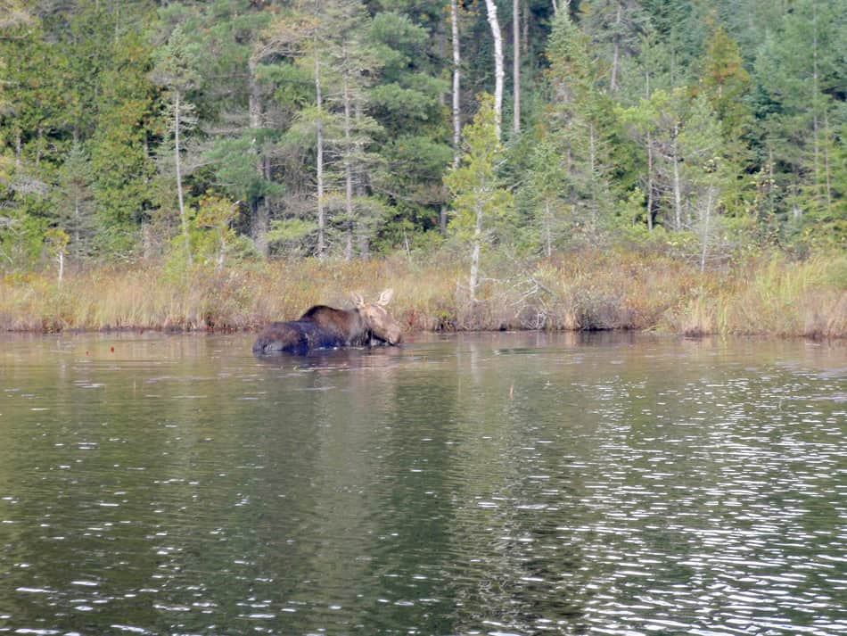 Moose - Robert Bullis BWCA Boundary Waters Canoe Trip Log